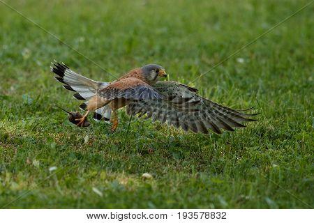 Common Kestrel hunting little mouse, Falco tinnunculus, little birds of prey, green grassland near european forest, Czech Republic.