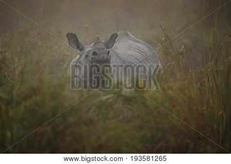 Criticaly endangered indian rhinoceros in Kaziranga national park in India, rhinoceros unicornis, one horned rhino, indian wildlife. Wild India.