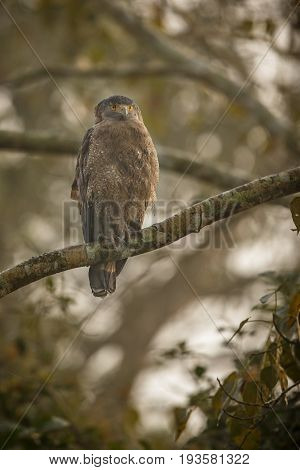 Crested serpent eagle in Kaziranga National Park in Assam in India