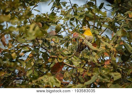 Yellow indian pidgeon on a tree in Kaziranga National Park in indian Assam