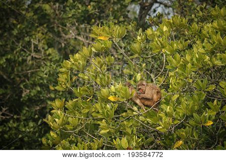 macaque rhesus with baby on a tree in indian Sundarbans/macaque rhesus with baby/Sundarbans tiger reserve in India