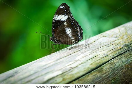Butterfly , Cute Insect With Brown, White And Blue Colored Wings Sitting On Old Wood On Natural Back