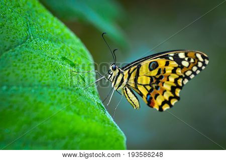 Butterfly , Cute Insect With Multicolor Colored Wings Sitting On Green Leaf On Natural Background. W