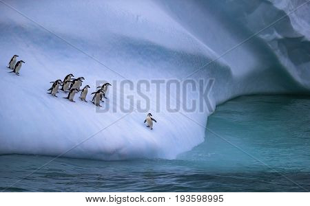 The colony of penguins approaches the water. One penguin stands on the slope of the iceberg near the water. A group of penguins are on an iceberg.