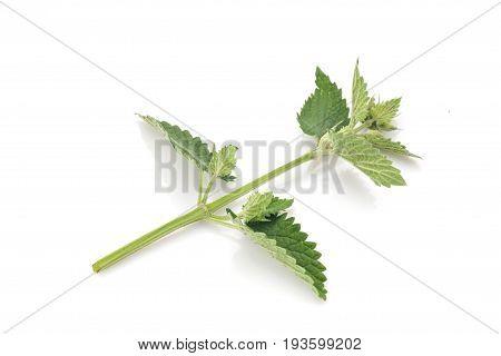 Melissa leaves isolated on white background. Vegetarian food.
