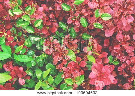 Green and purple foliage botanical background wet round leaves crimson royal pygmy barberry vibrant colors light matte effect