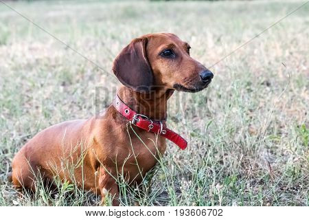 A beautiful dachshund sitting outdoor at a park