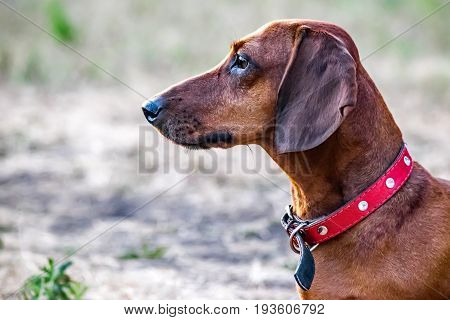 Portrait of a hunting dachshund dog in profile