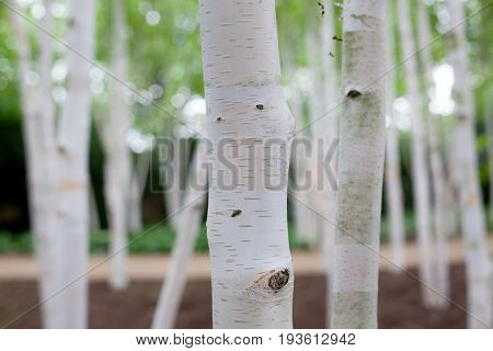 Silver birch (Betula pendula) tree forest. Dreamy image of white bark trees in woodland. Close up of trunks with selective focus on foreground.