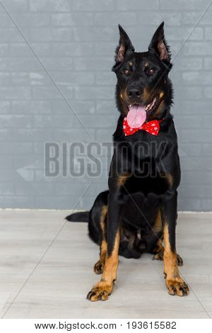 Beauceron Dog With Red Bowtie, Cute Puppy