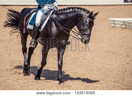 Dressage horse and rider. Black horse portrait during dressage competition. Advanced dressage test.