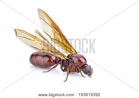 Subterranean ant (Scientific Name is