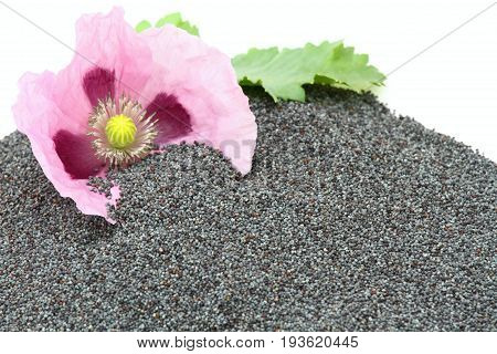 Poppy seed and flower on the white background. Organic dry poppy seeds in the pile