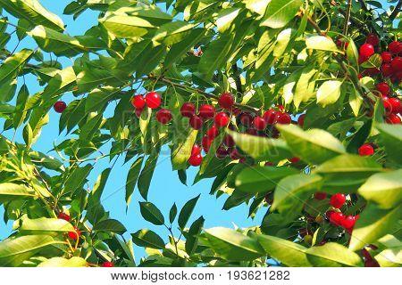 Cherry On The Tree