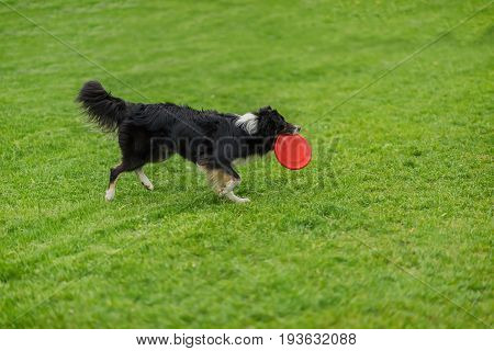 Funny frisbee catch with the owner. Dog carrying red plastic disc walking in the grass at summer park. Happiness in motion. Dog sports training, funny show. Concept of friendship between man and dog