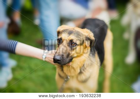 Sad adult dog with an expressive look from shelter. Hand of Girl regret and caress dog. Dog hopes to have owner. Loneliness, uselessness, social problem, homeless animals, adoption