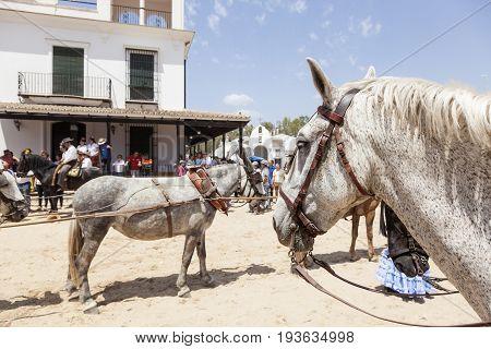 El Rocio Spain - June 2 2017: Andalusian horse in El Rocio during the Romeria 2017. Province of Huelva Almonte Andalusia Spain