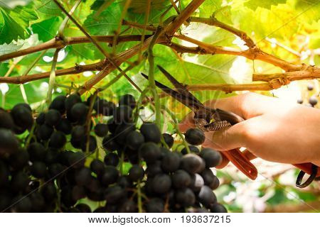 Branches of red wine grapes growing in Italian fields. Close up view of fresh red wine grape in Italy. Vineyard view with big red grape growing. Ripe grape growing at wine fields. Natural grapevine