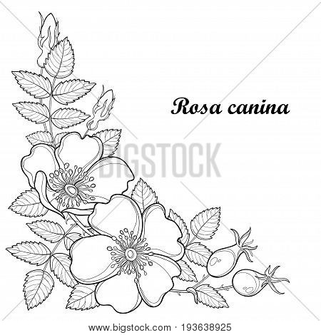 Vector branch with outline Dog rose or Rosa canina, medicinal herb. Flower, bud, leaves and hip isolated on white background. Ornate wild rose in contour style for summer design and coloring book.