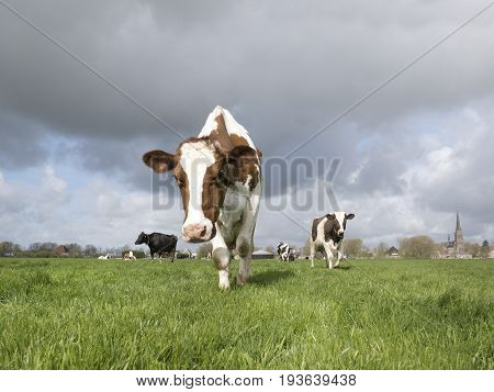 Two lovely Dutch cows walking towards the photographer in a beautiful field.