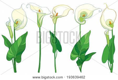 Vector set with Calla lily flower or Zantedeschia, bud and leaves in pastel color isolated on white background. Floral elements in contour style with ornate calla flowers for summer design.