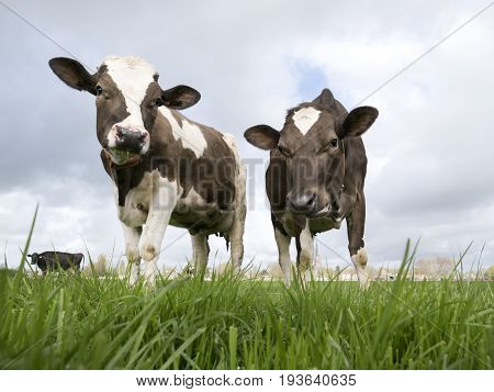 Two sweet Dutch cows investigating the photographer while standing in a beautiful field.