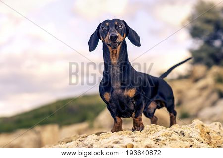 portrait of a dog (puppy) breed dachshund black and tan stand on a stone against a background of green hills and sky