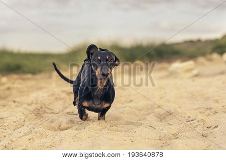 Dog (puppy) of the breed dachshund black and tan is happily running along the sandy beach amidst the green hills.