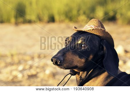 portrait of a dog (puppy) breed dachshund black and tan in a cowboy costumea background of green grass