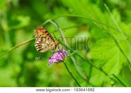 Queen of Spain Fritillary butterfly, Issoria lathonia. Fritillary butterfly in the grass