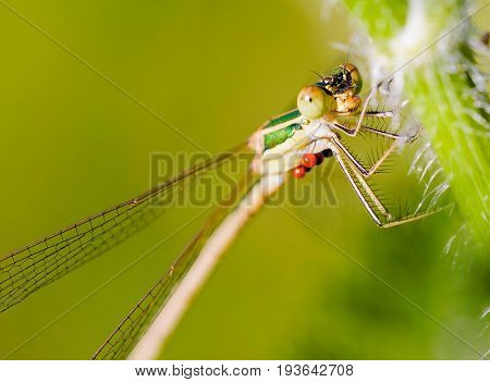 Lestes Barbarus Female
