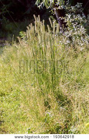 Phleum Pratense Plant