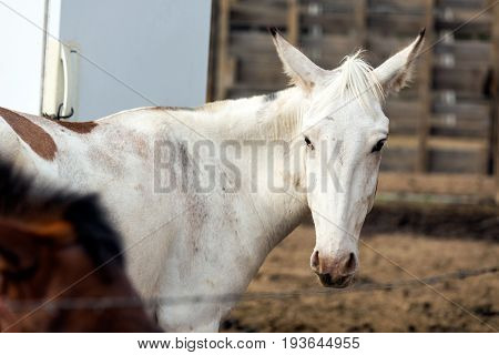 Mule In A Fenced Pasture With Junk Behind It