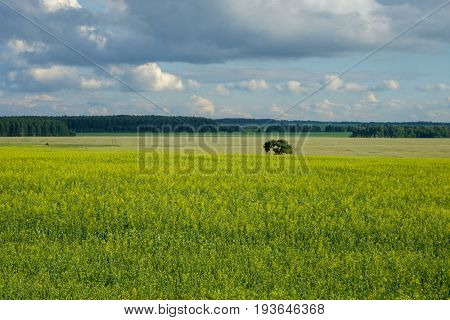 Beautiful summer landscape with a lone tree on a yellow flowered field on a background of dense clouds