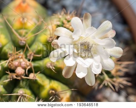 Cactus flower petal pink in the pot.Yellow stamen On the inside of the cactus flower. The background is gray