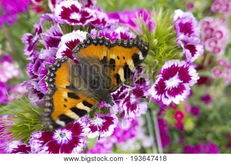 A gorgeous butterfly in the process of pollinating beautiful flowers.