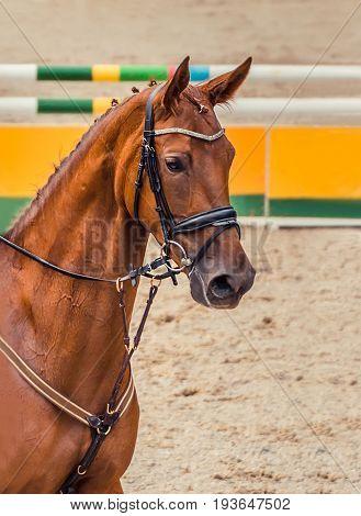 Dressage red horse portrait during dressage competition. Advanced dressage test.