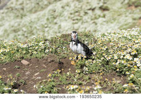 Puffin posing with sand eels, Skomer Island.