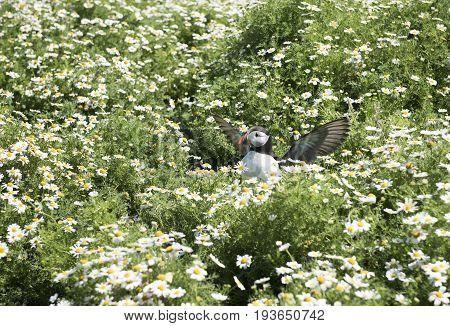 Puffin resting in flowers on Skomer Island.