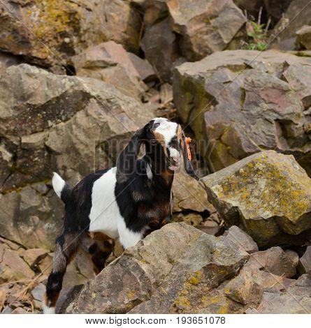Baby goat climbing on rocks