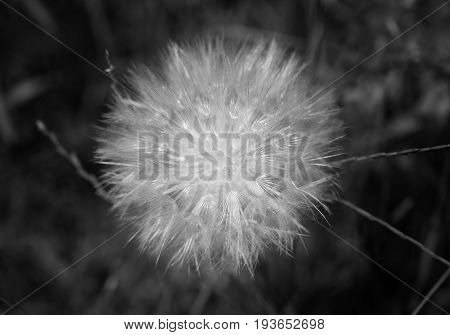 Beautiful white dandelion photographed in close up