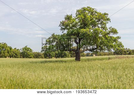Cork Trees In A Farm Plantation  In Vale Seco, Santiago Do Cacem