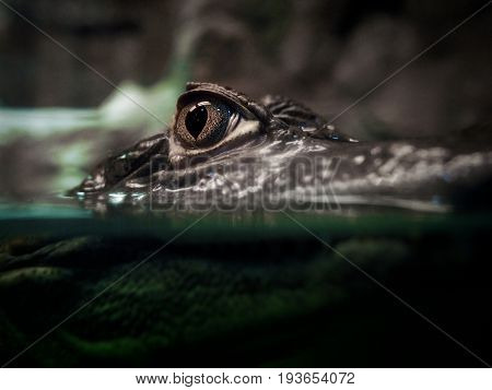 Macro eye of a large crocodile peeping out of the water