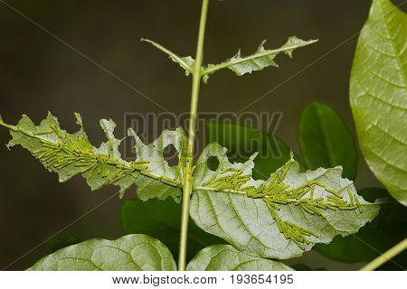 Three-spot Grass Yellow Caterpillars