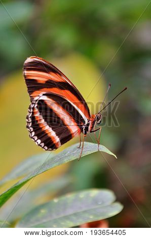 A Tiger longwing butterfly lands in the gardens for a visit.