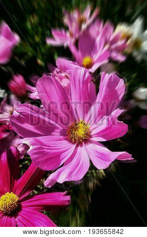 set of pink flowers with pistils yellow in spring