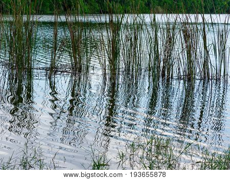 green and brown cat tails and aquatic grass growing in a pond and reflecting on the ripples of the water