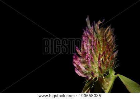 single withering clover flower on black background