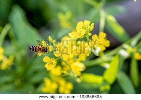 Closeup bee eating nectar on the small yellow flowers of Sinapis Arvensis or Wild Mustard