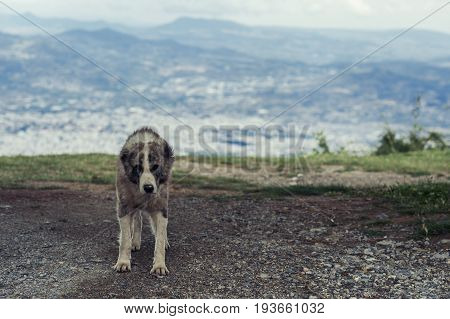 Wild hungry dog on the background of mountains in Greece. A big dog in the wild place